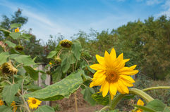 Sunflowers blooming against a bright sky royalty free stock photography