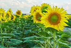 Sunflowers blooming against a bright sky. Stock Photography