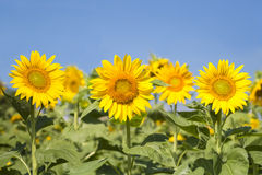 Sunflowers blooming background Royalty Free Stock Images