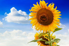 Sunflowers blooming Stock Photography