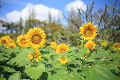Sunflowers blooming Royalty Free Stock Images