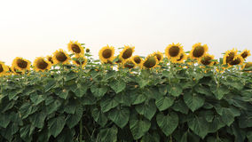 Sunflowers blooming Stock Image