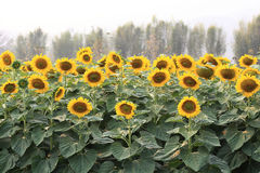 Sunflowers blooming Stock Photo