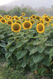 Sunflowers blooming Royalty Free Stock Photos