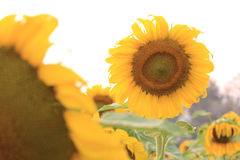 Sunflowers blooming Royalty Free Stock Photo