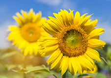 Sunflowers blooming on blue sky background Royalty Free Stock Photography