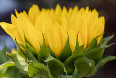 Sunflowers blooming in a bouquet Stock Images