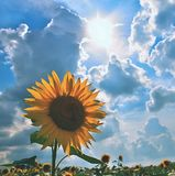 Sunflowers blooming in farm - field with blue sky and clouds. Beautiful natural colored background. Flower in nature. Royalty Free Stock Image