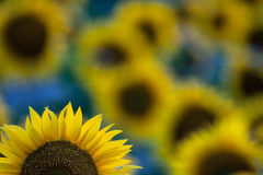 Sunflowers. Blooming field of a sunflowers Royalty Free Stock Images