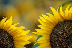 Sunflowers. Blooming field of a sunflowers Stock Images