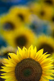 Sunflowers. Blooming field of a sunflowers Stock Photos