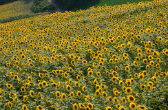 Sunflowers blooming in field Stock Images