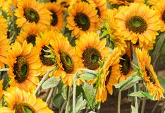 Sunflowers Blooming in a field Stock Images