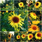 Sunflowers blooming in park collage of summertime photos Royalty Free Stock Photos