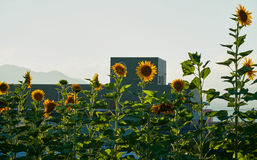 Sunflowers. Blooming in summer in Yamaguchi City, Japan Royalty Free Stock Images