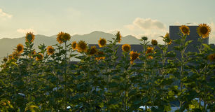 Sunflowers. Blooming in summer in Yamaguchi City, Japan Stock Photos