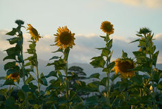 Sunflowers. Blooming in summer in Yamaguchi City, Japan Royalty Free Stock Photos