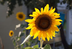 Sunflowers blossom agriculture flora at botanical garden Royalty Free Stock Images