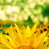 Sunflowers blossom. Blooming field of sunflowers on blue sky royalty free stock photos