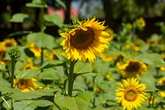 Sunflowers in the green field. Sunflowers blossoming in the field at sunny day Stock Images