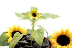 Sunflowers blossoms Royalty Free Stock Images