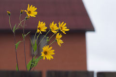 Sunflowers blossoms after fence before blur countr Royalty Free Stock Photography
