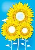 Sunflowers on blue background Stock Photo