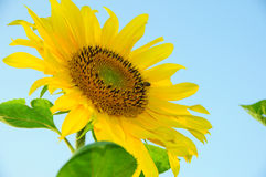 Sunflowers on a blue background yellow sunflower and a bee Royalty Free Stock Photo