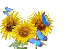 Sunflowers and blue butterfly Royalty Free Stock Images