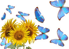 Sunflowers and blue butterfly Stock Images