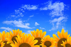 Sunflowers and blue sky. Cheerful sunflower blossoms against a blue sky with scattered clouds Stock Image