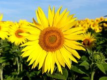 Sunflowers and a blue sky Stock Photography