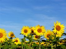 Sunflowers and a blue sky Stock Photos