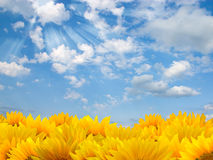 Sunflowers and blue sky Stock Photography