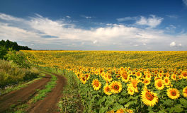 Sunflowers with blue sky Royalty Free Stock Photography