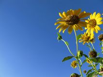 Sunflowers and blue sky Royalty Free Stock Images