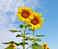 Sunflowers with blue sky Stock Photo