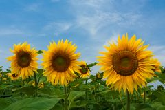 Sunflowers on blue sky Stock Images