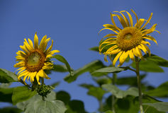 Sunflowers and blue sky Royalty Free Stock Photo