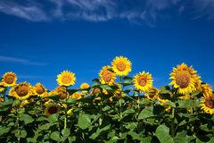 Sunflowers on blue sky background Stock Images