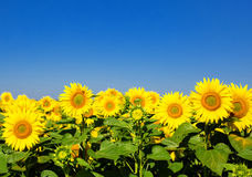 Sunflowers with blue sky Stock Image