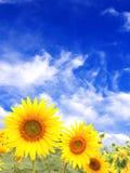 Sunflowers on blue sky background Royalty Free Stock Photo