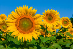 Sunflowers on a blue sky background Stock Image