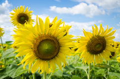 Sunflowers with blue sky. A Big sunflowers with blue sky Royalty Free Stock Photos