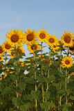 Sunflowers on blue sky Stock Image