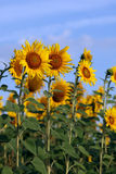 Sunflowers on blue sky Royalty Free Stock Photography