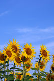 Sunflowers on blue sky Royalty Free Stock Images