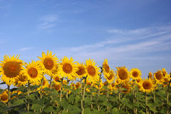 Sunflowers on blue sky Royalty Free Stock Photo