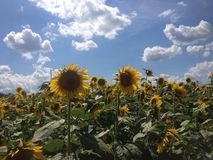 Sunflowers with Blue Sky and Clouds. Large Sunflower Field with Blue Sky and Clouds Above Royalty Free Stock Image