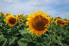 Sunflowers with blue sky Royalty Free Stock Photo